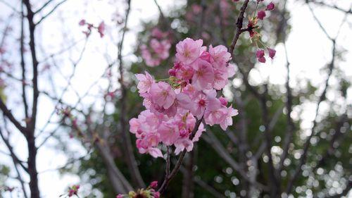 Yokohama Zakura  横濱桜  - GF1 20mm F1.7