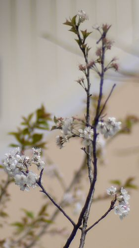 Sakura in neighbors' garden GF1 Noctilux F1 50mm