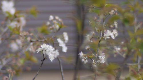 Sakura in neighbors' garden  - GF1 Noctilux F1 50mm